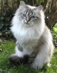 siberische-kat